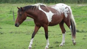 Xander - Bay Tobiano Blanket by Horselover60-Stock