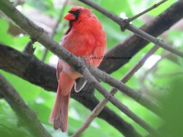 Little Red Cardinal by Pokey57