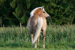 Haflinger Stock 6 by Colourize-Stock