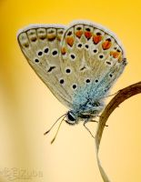 .Common Blue. by efeline