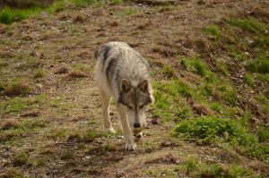 Wolf Science Center 11 by Lakela