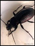 Purple Rimmed Carabus by ChristyReserva
