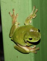 Frog 3057 by fa-stock