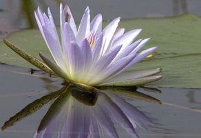 Water Lily by lenslady