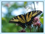 Tiger Swallowtail by barcon53