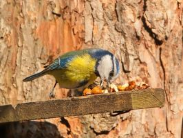 Walnuts for a tit by starykocur