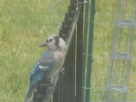 BlueJayin Outside Mah Window by River-Birch