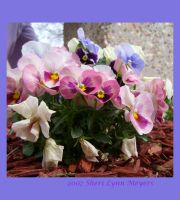 Pansy 2 by 1footonthedawn