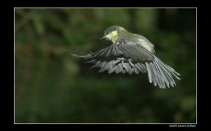 Great tit 2 by grugster