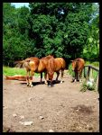 Suffolk Punch Mares by Bonesy