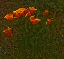 Just Poppies by zootnik