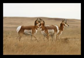 Pronghorn by CubeMonster