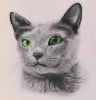 Russian Blue by SimplyACat