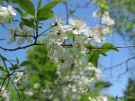 Apple Blossoms Close up by ghazoot
