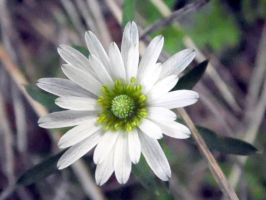 White Wildflower by TheGerm84
