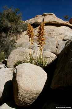 Blooming Yucca by RayvnGirl