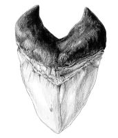 how to draw a megalodon tooth