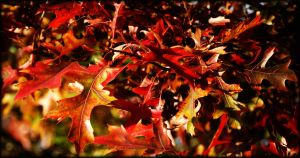 My favorite color of autumn! by LadyAliceofOz