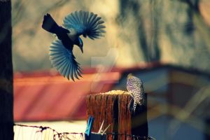 Blue Jays and Woodpeckers by KippieDee