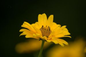 Heliopsis by thogro