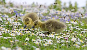 chicks at play by lesterlester