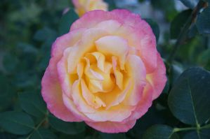 pink yellow rose by PatriciaSusana