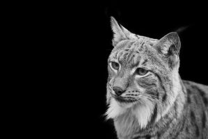 Lynx, KA I by FGW-Photography