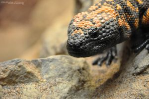 Gila Monster by Chelsey-Dunn
