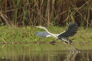 Ardea cinerea - Take off by RichardConstantinoff