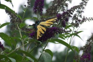 butterfly on a branch by bipolargenius