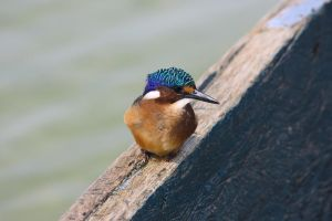 Kingfisher_Ssese Islands by Sam-becomes-Sam123