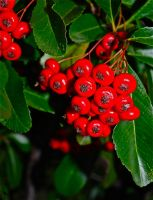 Pyracantha by jennystokes