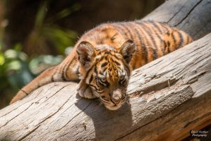 Tiger Cub by EdgedFeather