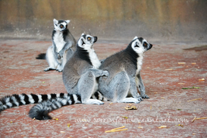 Ring-tailed Lemurs by SorrenFey