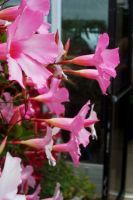 pink flower vine by diamonddreamer