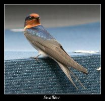 Swallow by mrwinter