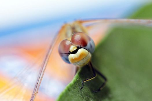 Dragonfly by 0paline