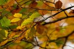 Beech Leaves by parallel-pam