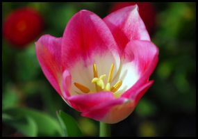 Little Pink Tulip by St0DaD