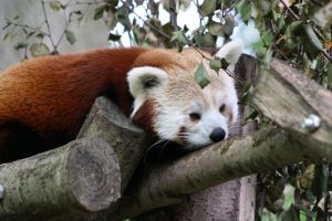 Red Panda 10 F by Cilmeron