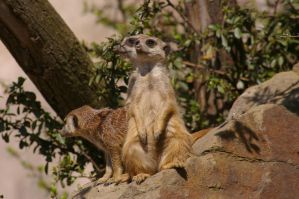 Meerkats IX by expression-stock