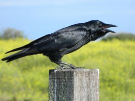 Crow 004 - HB593200 by hb593200