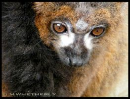 Lemur 01 by MWhetherly