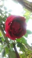 romantic red rose by Kyumi-Jyumi