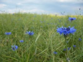 cornflower blue by MurkyVisions