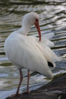 00193 - White Ibis Preens by emstock
