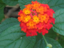 Lantana 6 by crazygardener