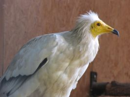 Egyptian Vulture 04 by animalphotos