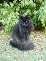 Black Turkish Angora X V by Twister4evaSTOCK