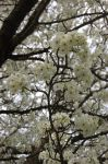 White Flowered tree by pairofbrowneyes